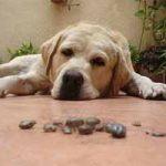 Cómo aparecen las garrapatas en los perros: ciclo de vida
