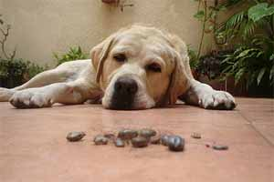 Cómo aparecen las garrapatas en los perros