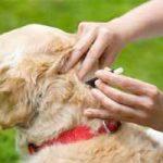 Cómo atacar las garrapatas en perros: formas para quitar, eliminar