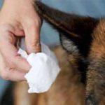 Cómo curar un perro infectado con garrapatas: remedios, productos, tratamiento