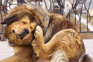Cómo detectar garrapatas en perros
