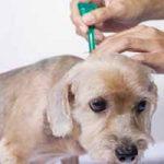 Enfermedad de garrapatas en perros, sus síntomas y tratamiento: Ehrlichiosis Canina