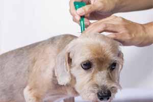 Enfermedad de garrapatas en perros: síntomas y tratamiento
