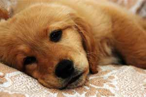 Enfermedad garrapata perros tratamiento