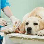 Enfermedades causadas por garrapatas en perros: síntomas, tratamientos