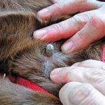 Cómo exterminar las garrapatas en los perros: rápido, de casa, de forma natural