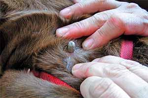 C mo exterminar las garrapatas en los perros r pido de - Exterminar pulgas en casa ...