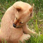 Cómo matar las garrapatas de mi perro: remedios caseros