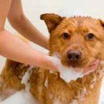 Cómo prevenir las garrapatas en los perros: remedios caseros, repelentes, collar