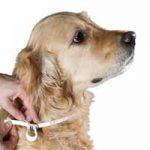Cómo tratar las garrapatas en los perros: remedios caseros, prevenir
