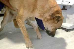 Tratamiento para la parálisis en perros por garrapatas