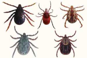 Epecies de garrapatas