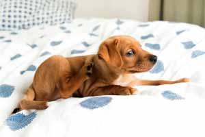Cómo eliminar pulgas de la cama