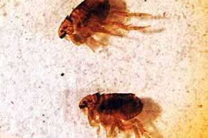 Cómo matar pulgas en casa