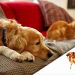 Cómo matar pulgas en casa, perros y gatos