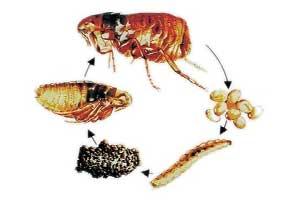 Ciclo de vida de las pulgas