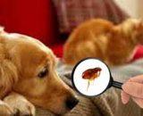 Cómo acabar con las pulgas en casa, de mi perro: remedios caseros