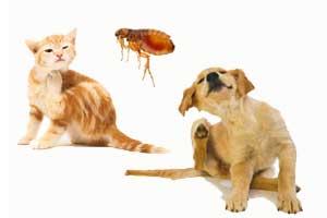 Información sobre las pulgas: características